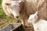 Овчици / Sheeps