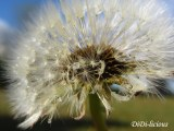 A-Z Photo Archive: D is for Dandelion